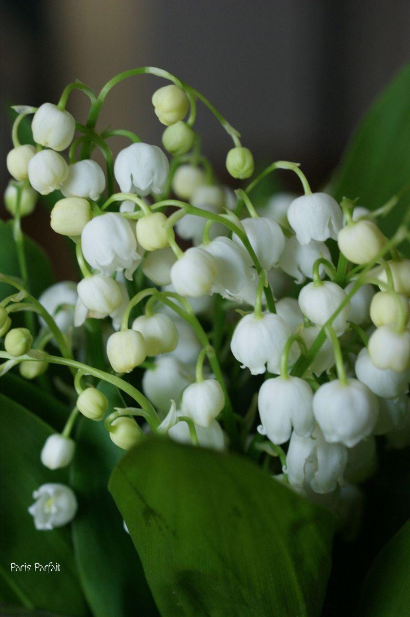 White choral bells upon a slender stalk lilies of the valley deck white choral bells upon a slender stalk lilies of the valley deck my garden mightylinksfo
