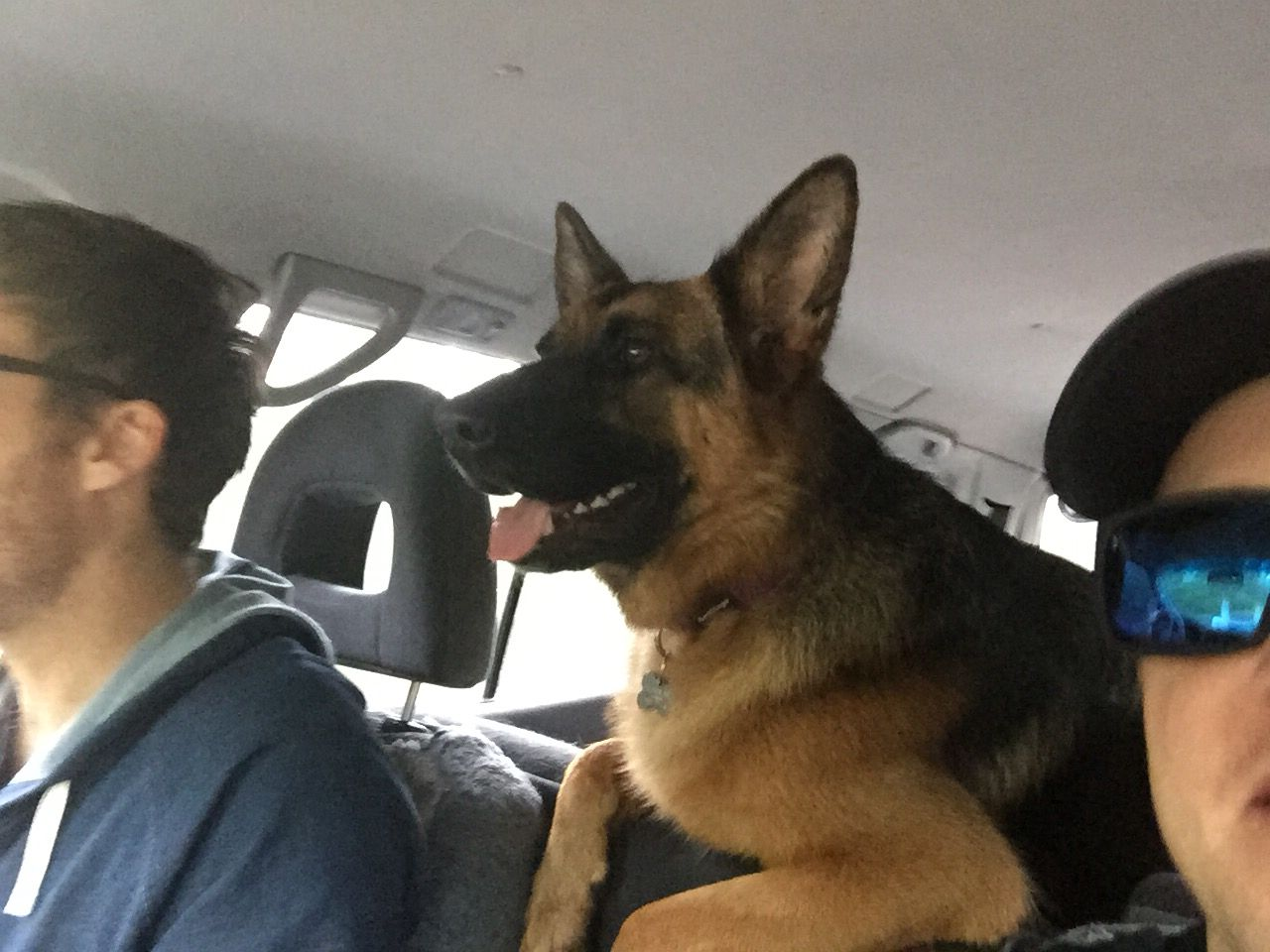Happy german shepherd dog on a road trip southwestaus gsd happy german shepherd dog on a road trip southwestaus gsd nvjuhfo Choice Image