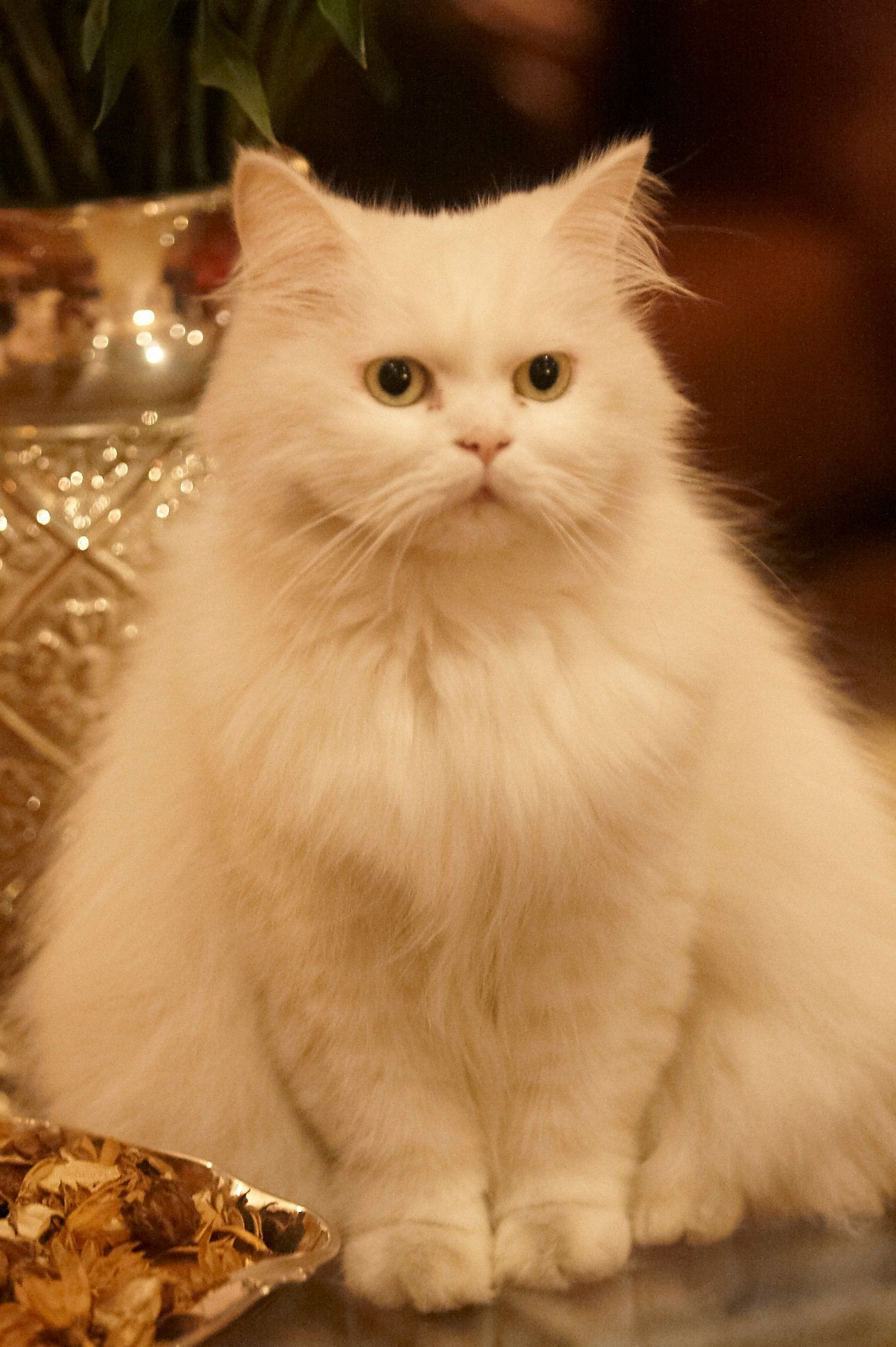 Lanna persian kitten Fancy cats, Pretty cats, Baby cats