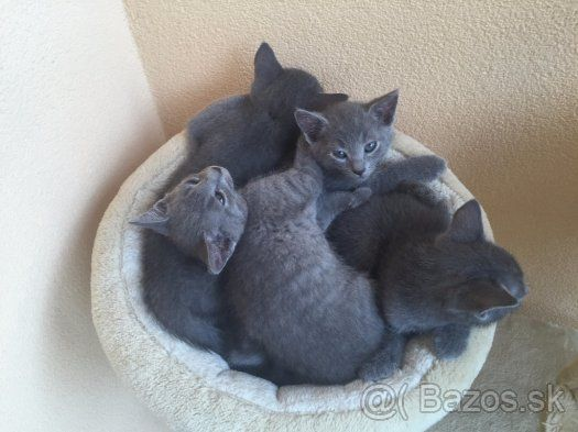 Ruská modrá mačka kocúrikovia - 1