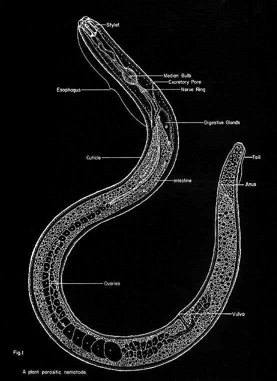 Diagram Of A Nematoda