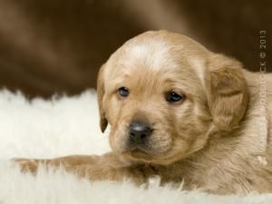 Adopt Elliot On Dog Adoption Dogs Golden Retriever Cute Animals
