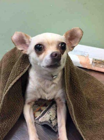 Manhattan Center Onion A1125456 Female Cream Chihuahua Sh Mix 6 Yrs Stray Stray Wait No Hold Reason Stray Intake Chihuahua Dog Adoption Chihuahua Dogs