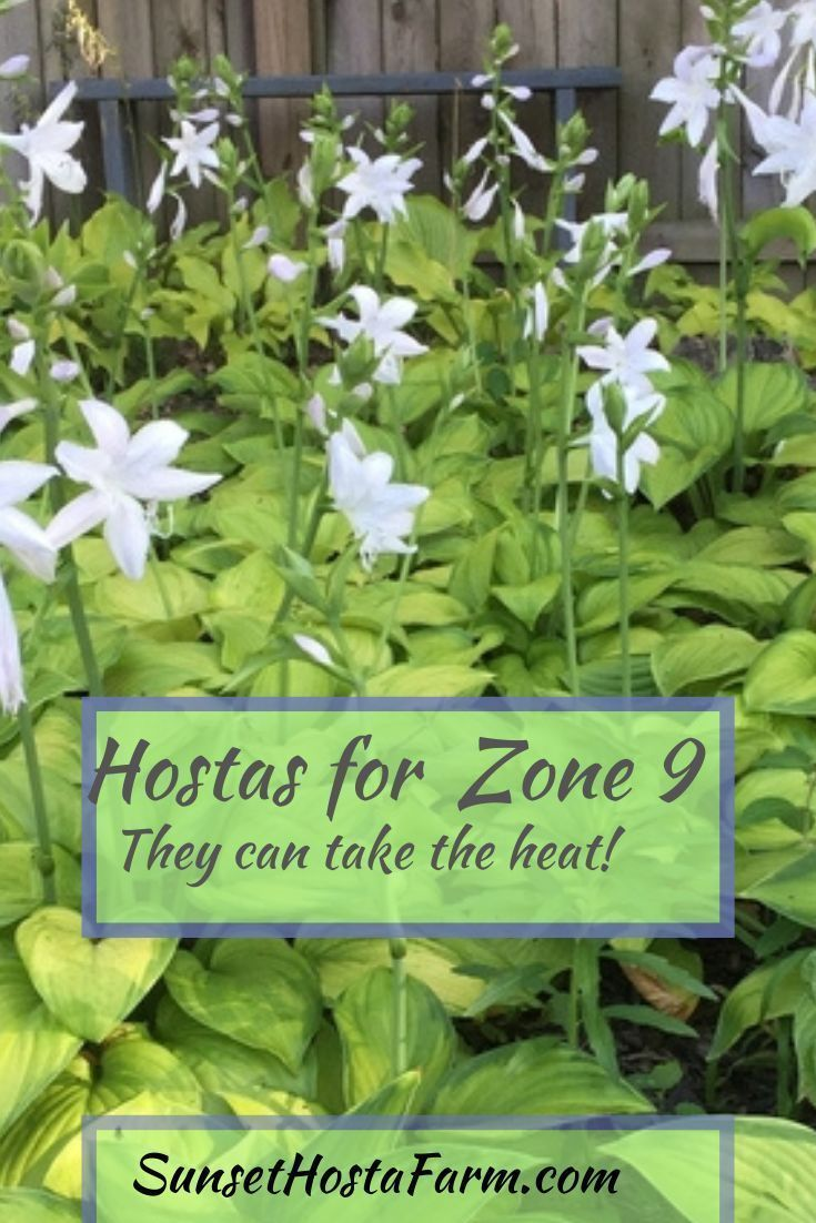 There are some hostas that are better than others to handle the heat of…