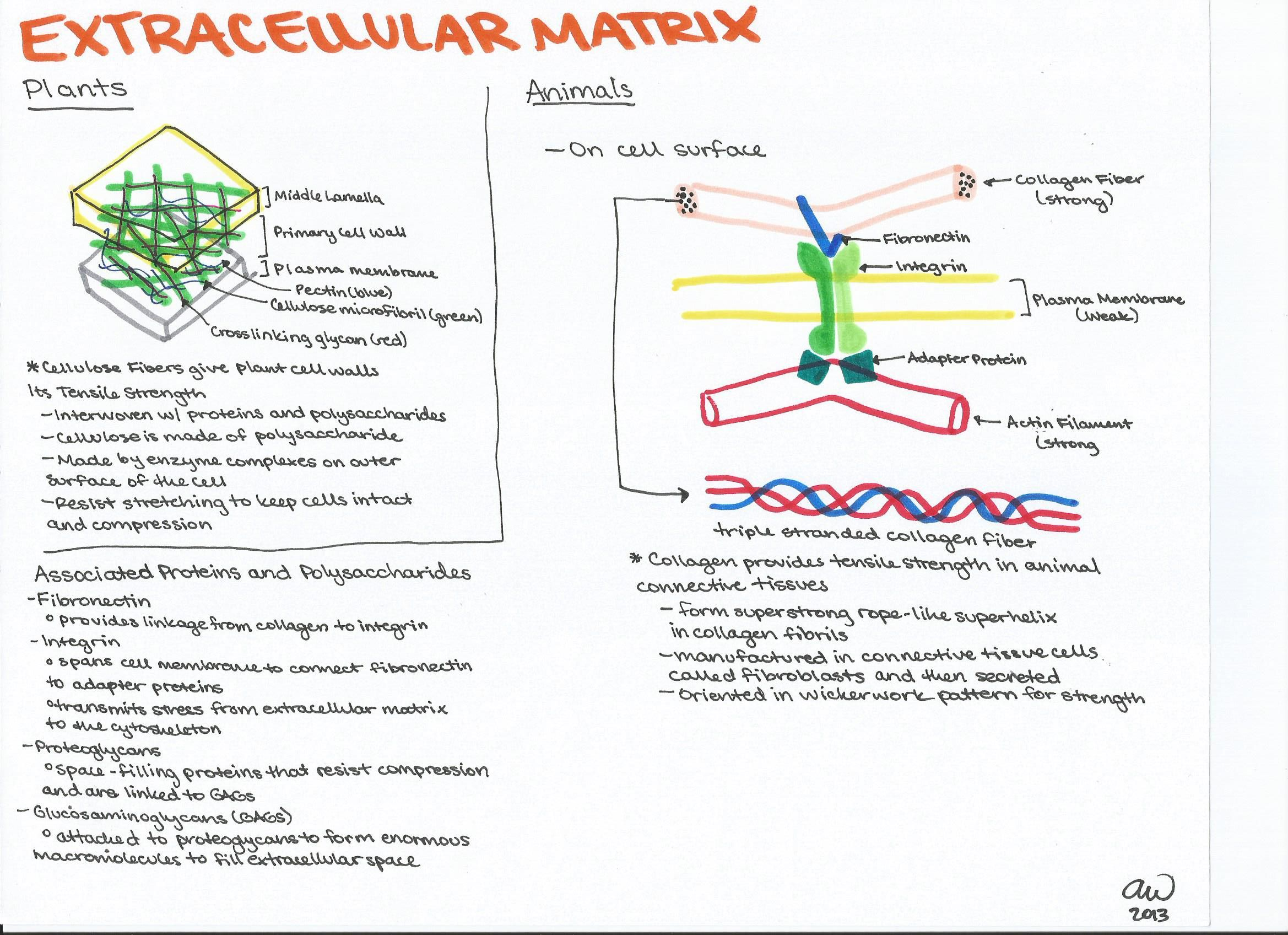 ashleysbiostudyguides.files.wordpress.com 2013 04 extracellular ...