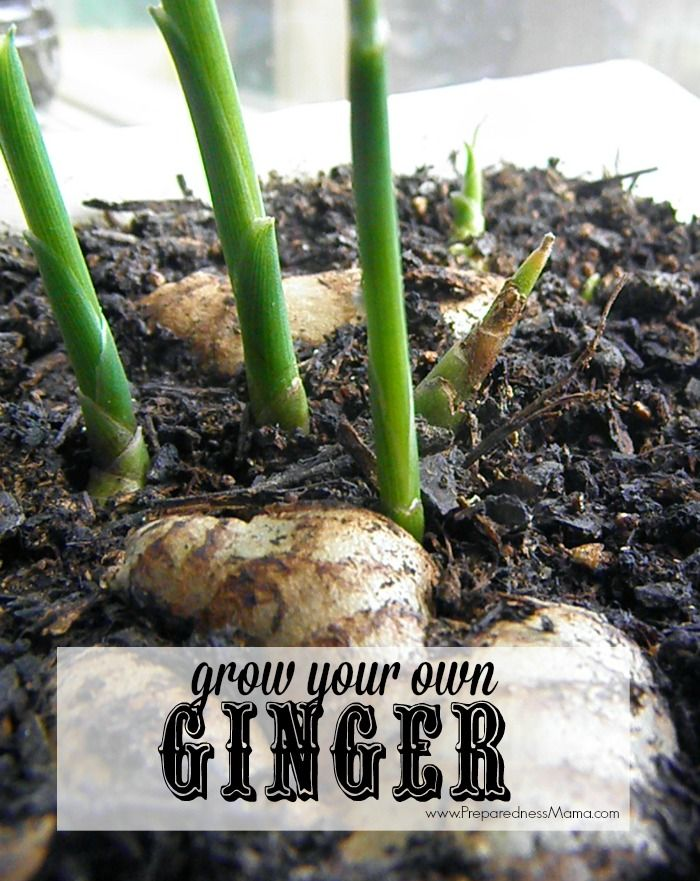 You can have your own ginger plant from rhizomes found in the grocery store   PreparednessMama
