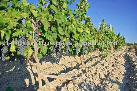 Grape Vine Plants Nursery