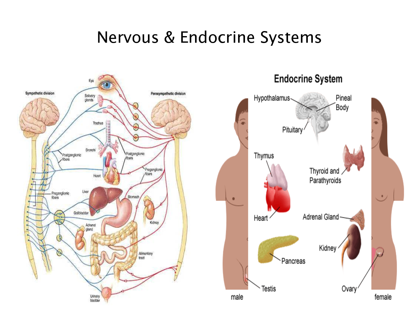Endocrine System Digestive System The Explanation Of Endocrine