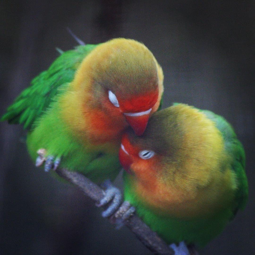 Kiss Me Lovebirds Bird Birds Wildlife Love Kiss Romance