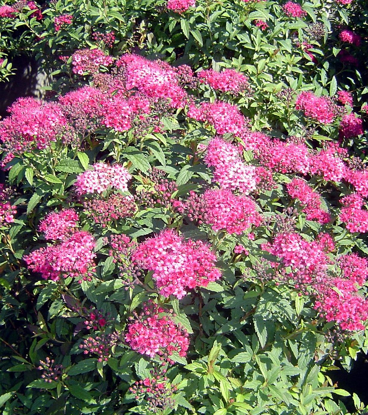 Neon Flash Spirea 1m High Wide Dwarf Dark Green Leaved Spirea