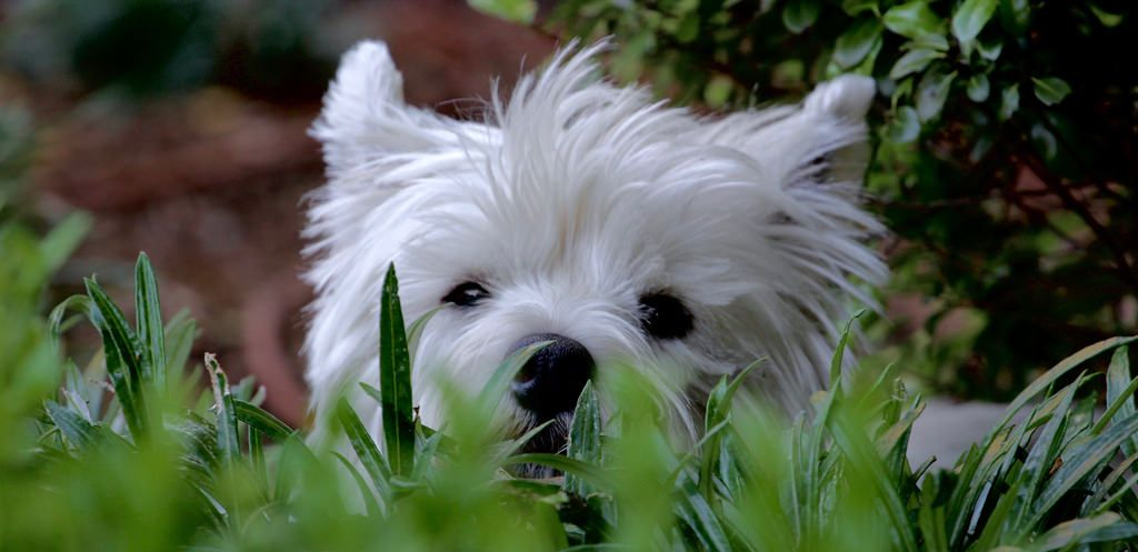 Splendour in the grass | Our Westie hasn't quite mastered hi… | Flickr
