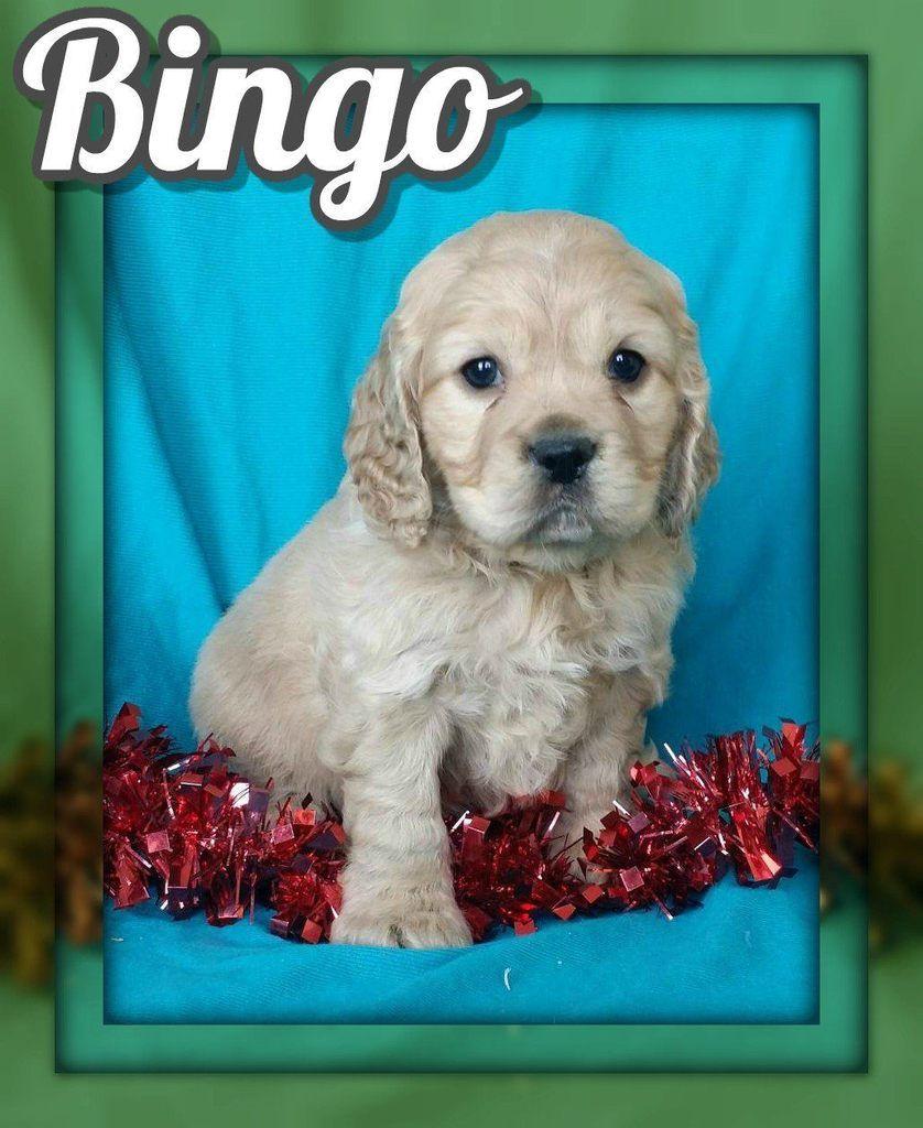 Bingo male cockapoo 1095 cockapoo puppies for sale