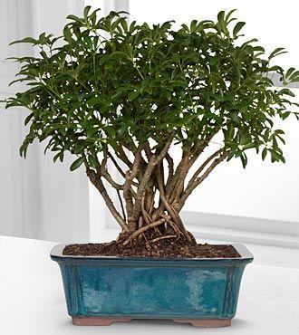 Low lights · Dwarf Hawaiian Umbrella Tree Bonsai  sc 1 st  Pinterest & Dwarf Hawaiian Umbrella Tree Bonsai   Trees Gifts and The ou0027jays azcodes.com