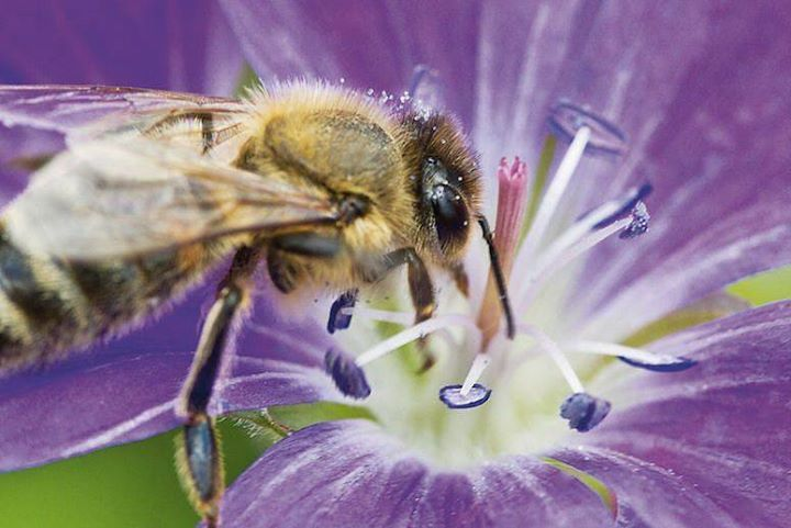 A New Way to Save the Bees: Have Them Deliver Natural Pesticides to Crops http://buff.ly/20MNZKP