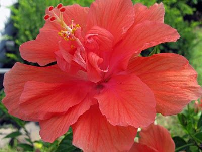 Beautiful Hibiscus Flowers With Images Hibiscus Plant Hibiscus Flowers Flowers