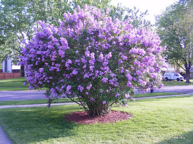 Lilac Tree Lilac Tree Flowering Trees Trees To Plant