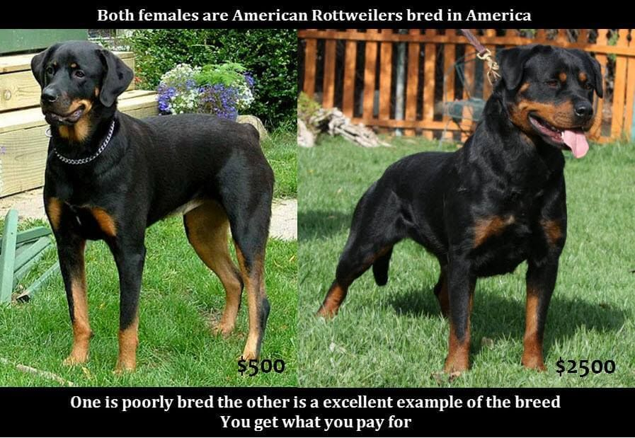 The Difference Between American And A German Rottweiler German Rottweiler Rottweiler Puppies Rottweiler Breed