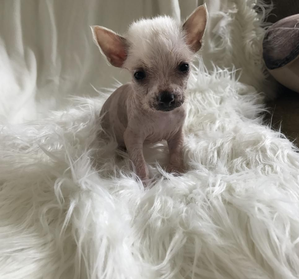 Chinese Crested Hairless Puppy In Hoobly Classifieds Chinese Crested Chinese Crested Dog Chinese Crested Hairless