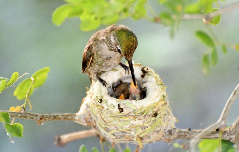 Hummingbird Nest Facts Hummingbird nests, Baby