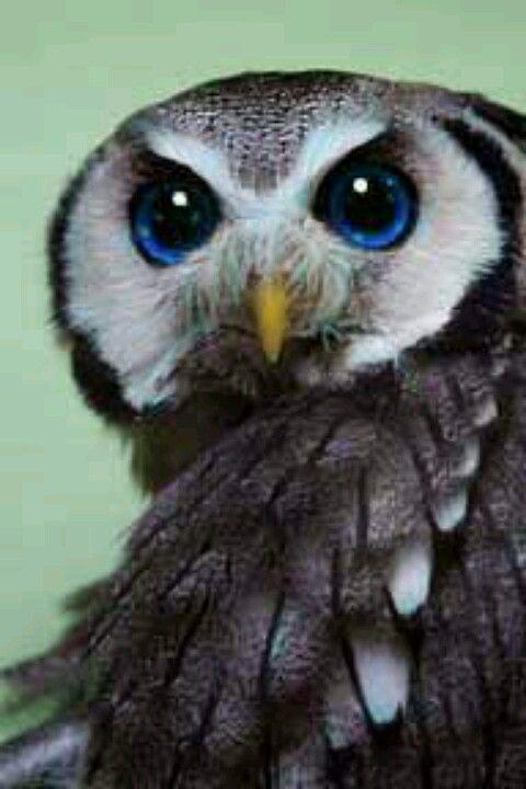 Beautiful Eyes Beautiful Owl Owl Animals Beautiful