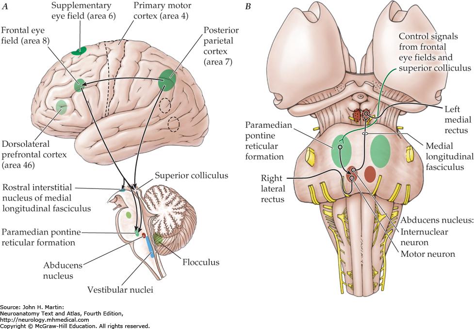 Image result for paramedian pontine reticular formation | Nervous ...