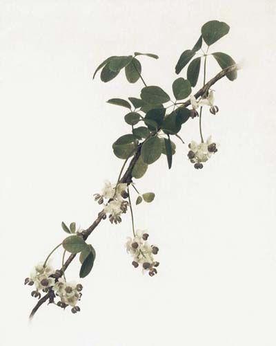"Flowers in Neutral Moment ""Stauntonia Hexaphylla"" Polaroid image transfer 8x10 archival pigment print Photo by Soichi Oshika"