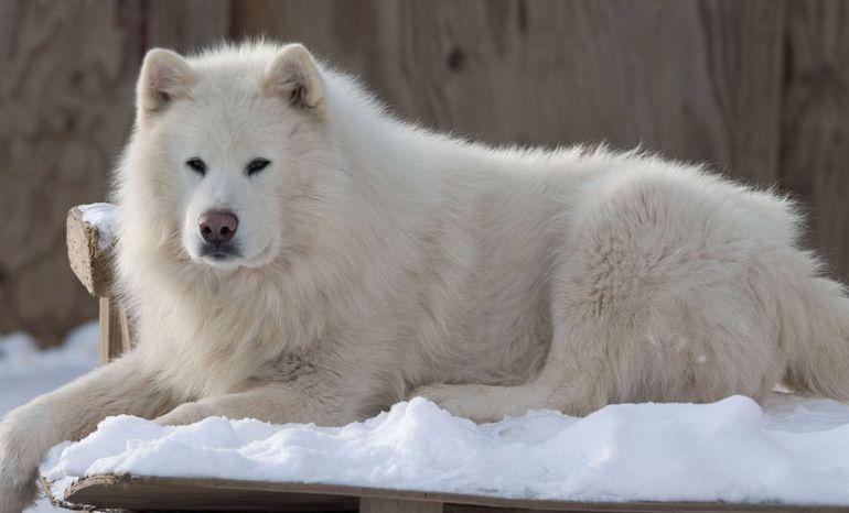 Giant Alaskan Malamute Dog Breed Information And Photos Giant Alaskan Malamute Alaskan Malamute Malamute Dog