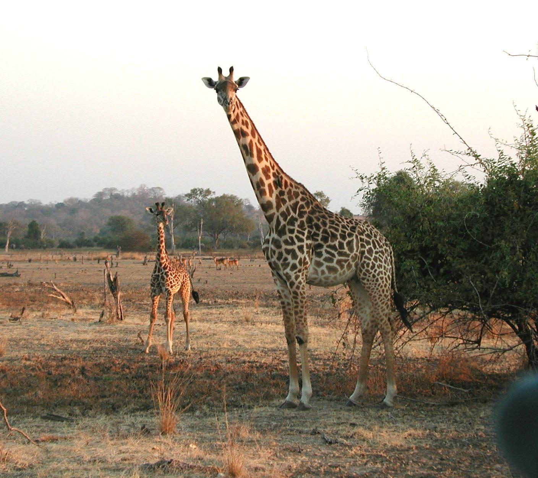 пятьдесят ему картинки самка жирафа готовить блюдо свежих