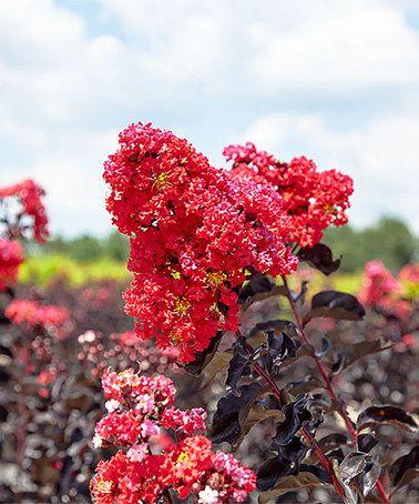 Look at this #zulilyfind! Live Black Diamond® Best Red™ Crape Myrtle Tree #zulilyfinds