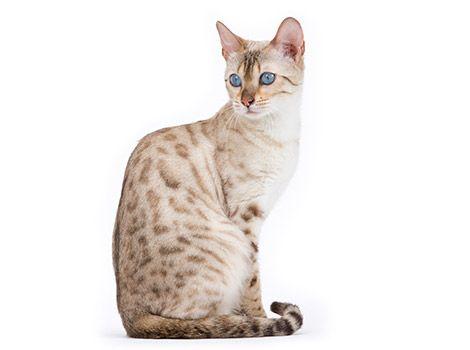 Best Weight Loss Wet Food For Cats Salegoods Cats Kitten Meowing Ocicat