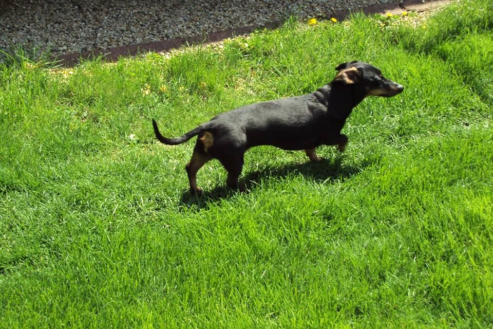 Meet Bethany A 9 Year Old Miniature Dachshund Who Recently
