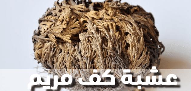 من اسرار عشبة كف مريم تساعد على الحمل Permaculture Herbs Hair Styles