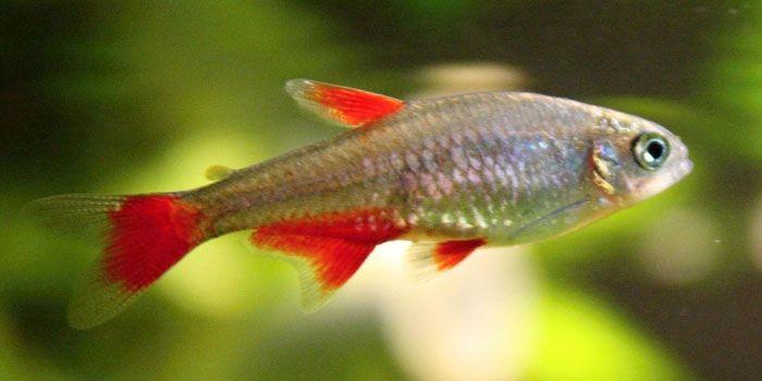 Blood Fin Tetras Best Freshwater Aquarium Fish For Beginners Easy
