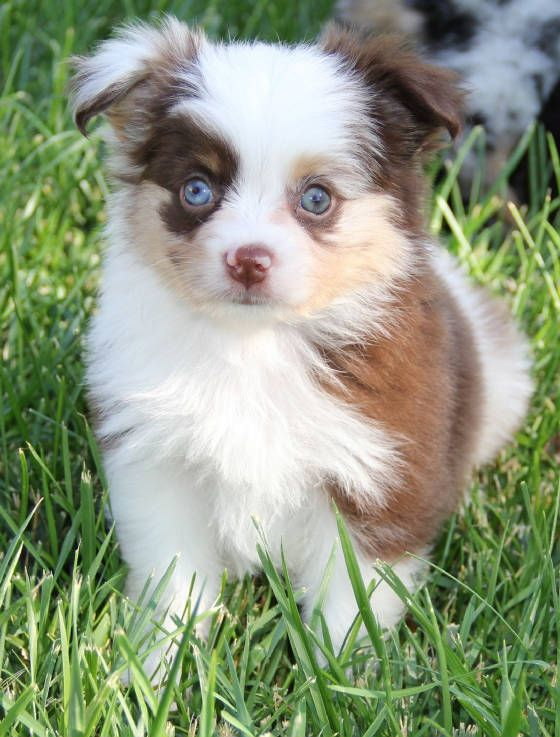 Merle Toy Aussie Puppies In Co Ca Me Md Ma Mn Mo Nm Ny Nj