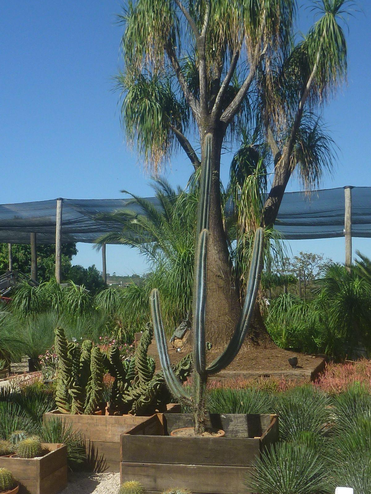 Beaucarnea recurvata pata de elefante jardim plantas - Planta pata de elefante ...