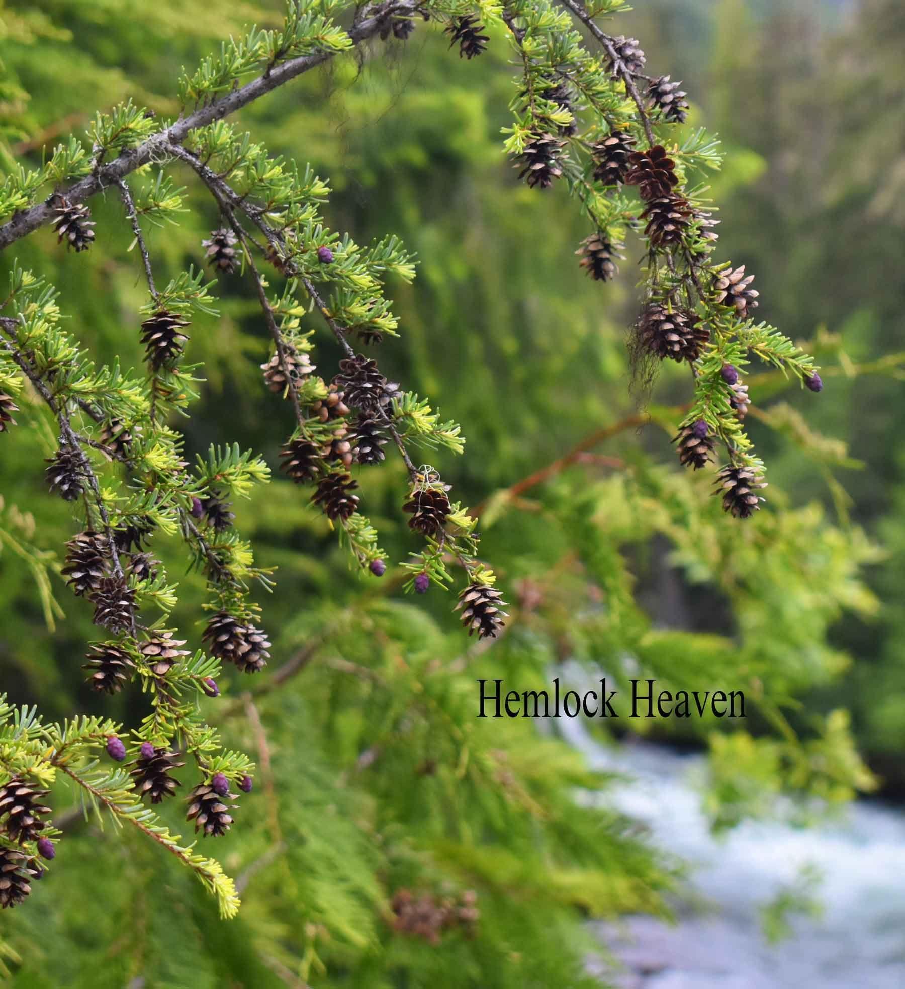 Hemlock Cones Mini Cones Popular For Fillers And Wedding Floral Accents Mini Pine Cones Pine Cone Decorations Hemlock