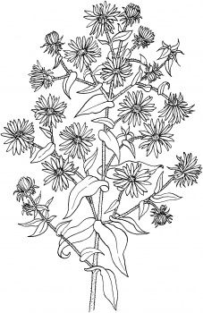 Symphyotrichum Novae Angliae Or New England Aster Floral Drawing