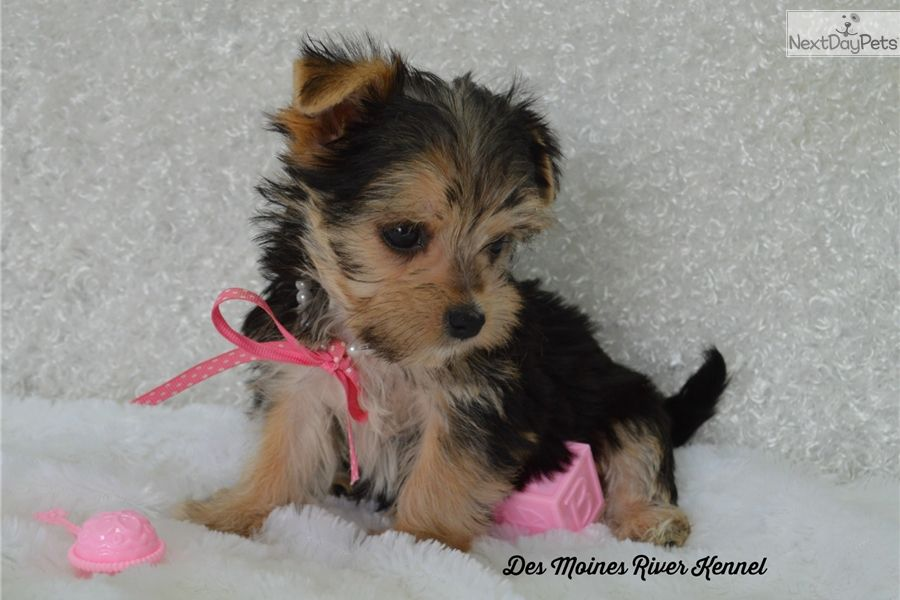 Morkie Yorktese Puppy For Sale Near St Louis Missouri Dc56a287