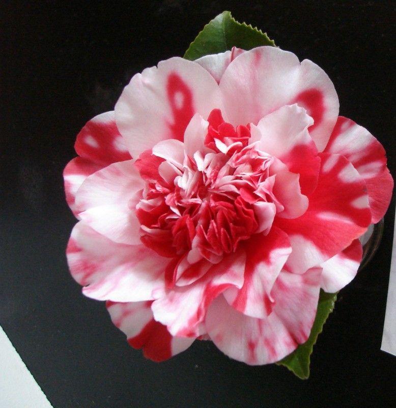 Camellia Japonica Colletti Plantify Camellia Flower Arrangements Japonica