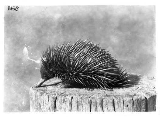 Echidna, Tachyglossus Aculeatus (photo), by HJ Burrell, 1914-1918  © Australian Museum