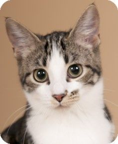 Chicago, IL Domestic Shorthair. Meet Martha a Kitten for