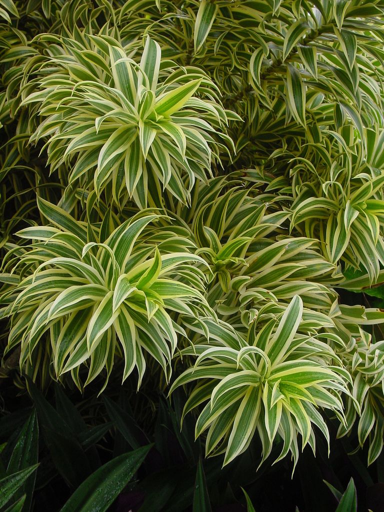 Dracaena Reflexa Pleomele Song Of India Native To Madagascar