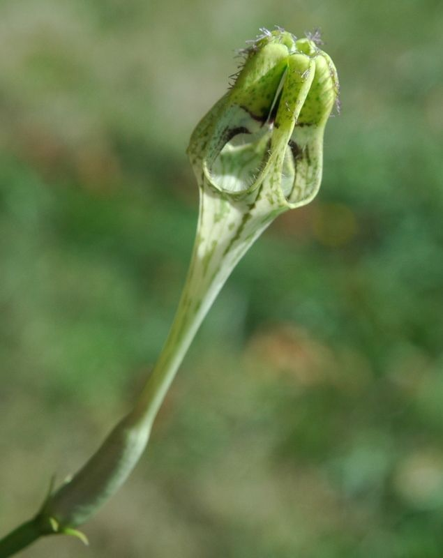 Ceropegia \'Uranus\'. Vining succulent with smelly flowers | Green ...