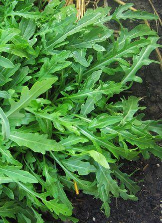 Arugula, Sylvetta Perennial