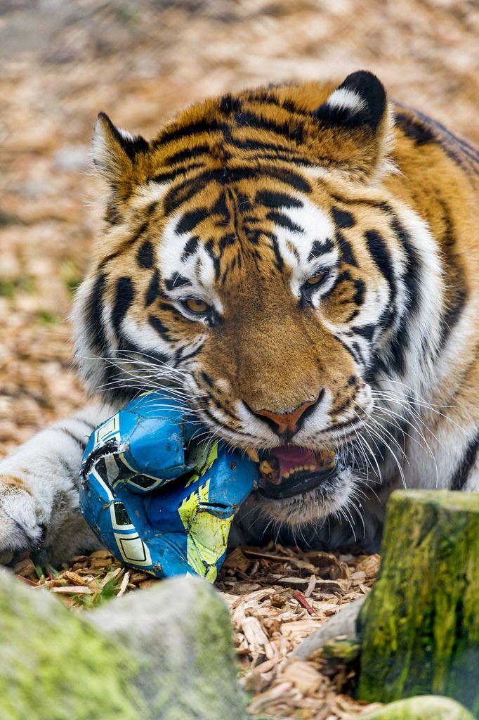 Flickr Tiger, Funny tiger, Tiger facts