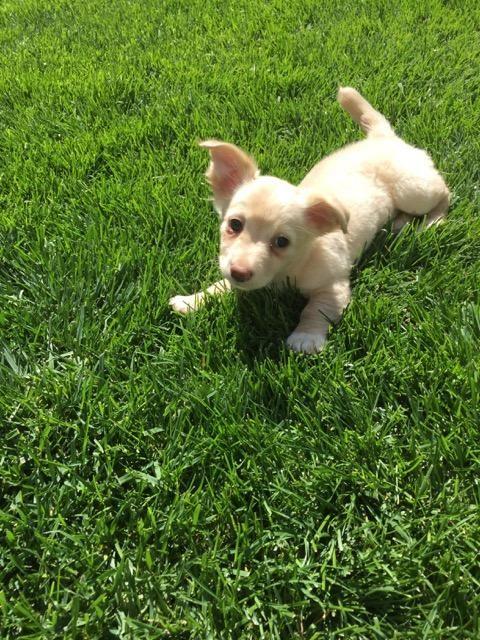 Adopt Aa Bessie On Corgi Dachshund Corgi Dog Pound Puppies