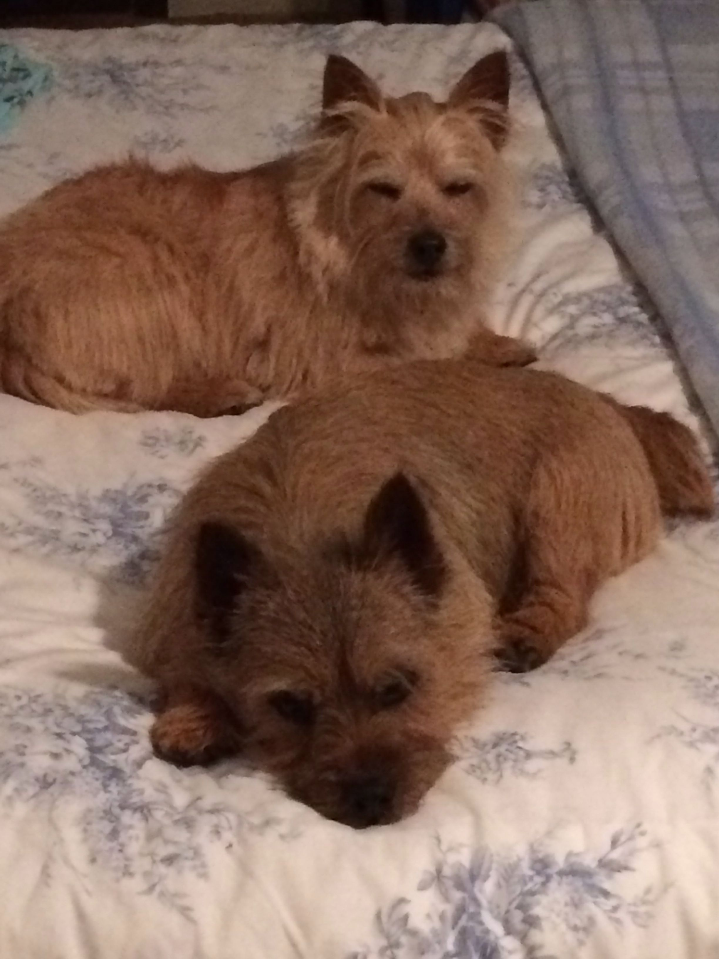 Téa & Ruby | Norfolk terrier, Norwich terrier, Cairn terrier