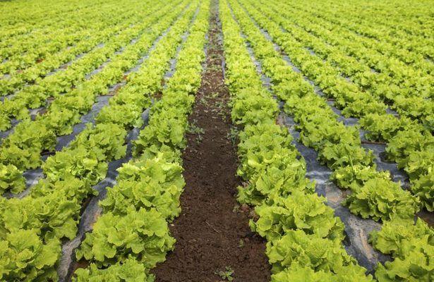How To Grow Romaine Lettuce Romaine Lettuce Growing 400 x 300