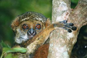 Bemaraha Woolly Lemur I Love Primates Pinterest Lemur