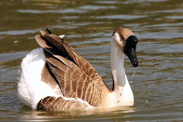 Chinese Swan Goose - Steve's Digicams Forums